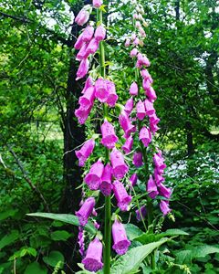 Foxgloves at Loch Lomond.