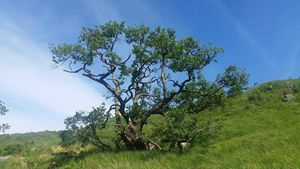 Tree along the West Highland Way.