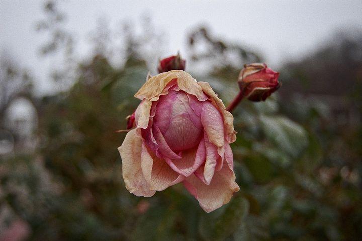 Bloom - Ashton Rose Art