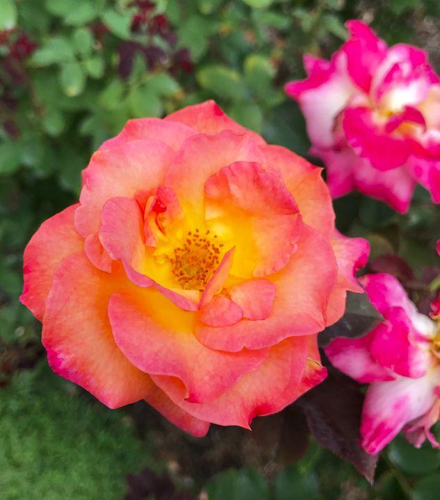 Rose 1 - Nicholas Beam