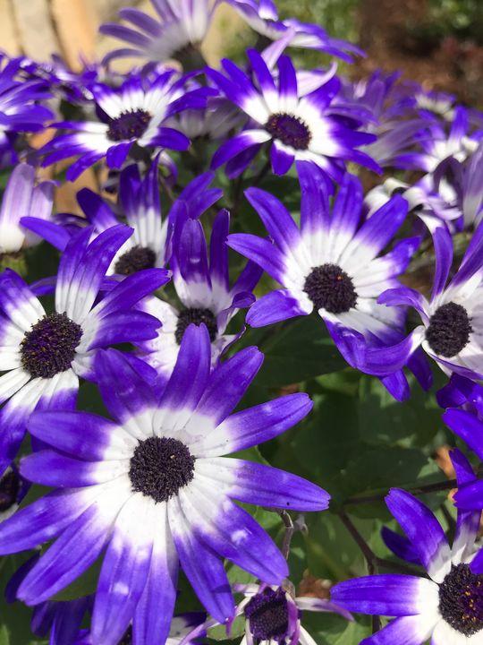 Purple Daisy - Nicholas Beam