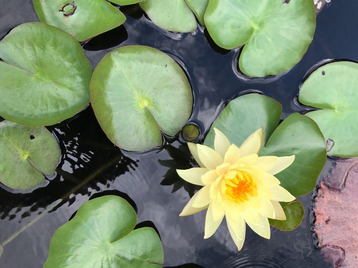 Water Lily - Nicholas Beam