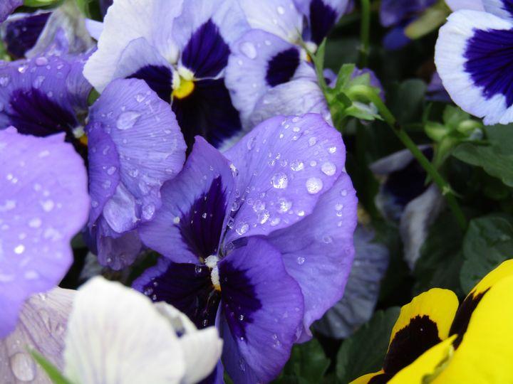 Purple Rain - Maryams Eden