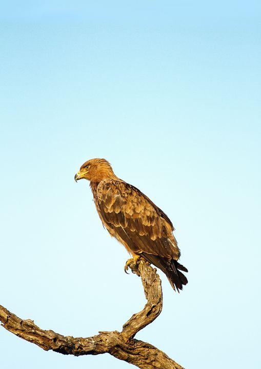 Eagle at sunrise - Weaver Photos