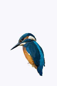 Kingfisher - Melanie Etges