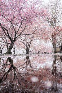 Sakura Spring Pink