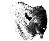 bison with black and white