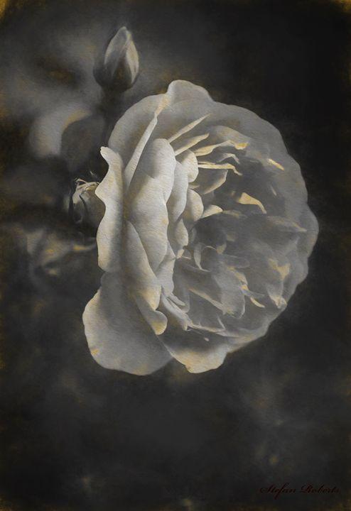 Antique Rose - Stefan Roberts