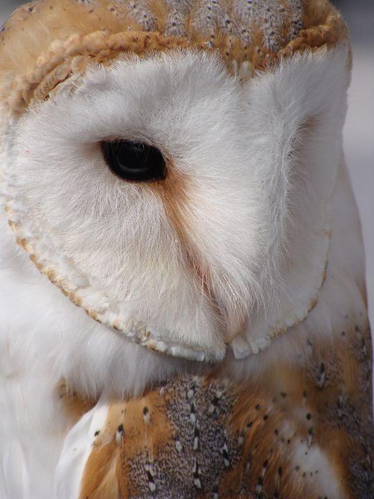 Barn Owl - EarthArt