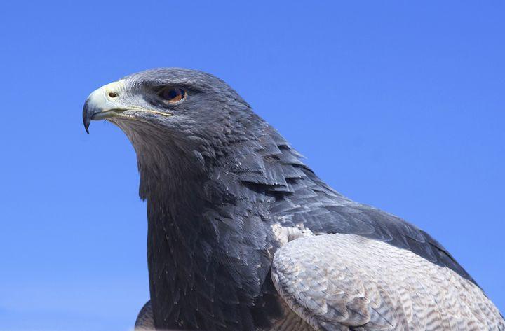 Eagle - clifford shirley