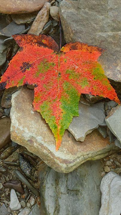 Maple leaf - RACHEL M