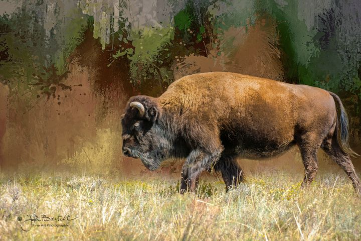 American Bison - JB's Imaging Studio