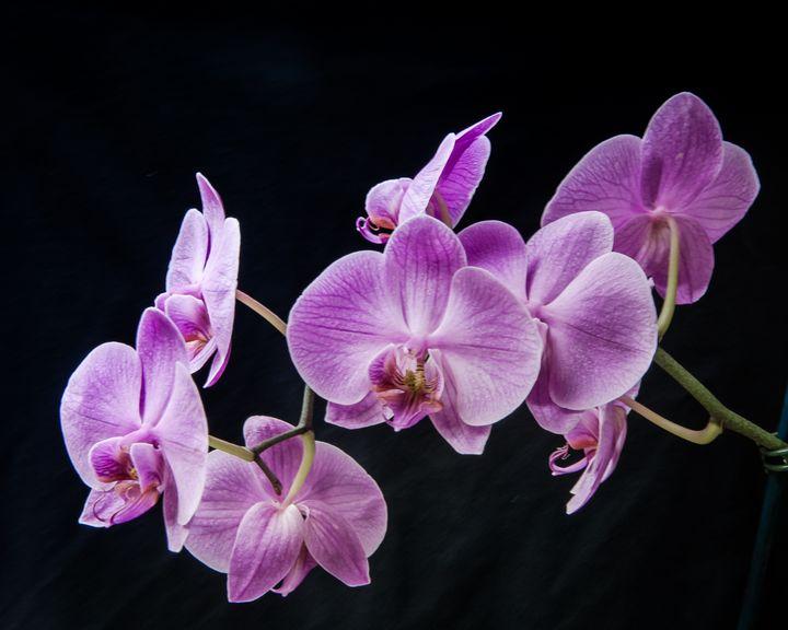 Stem Of Orchids - JB's Imaging Studio