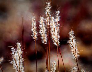 Sun-Bright Red Grass - JB's Imaging Studio