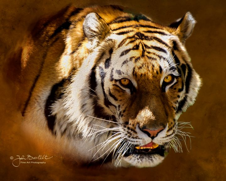 Siberian Tiger Portrait - JB's Imaging Studio