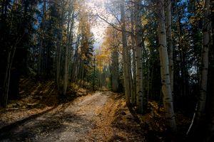 Sunlit Forest Walk