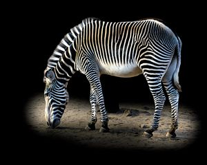 Magical Zebra Stripes