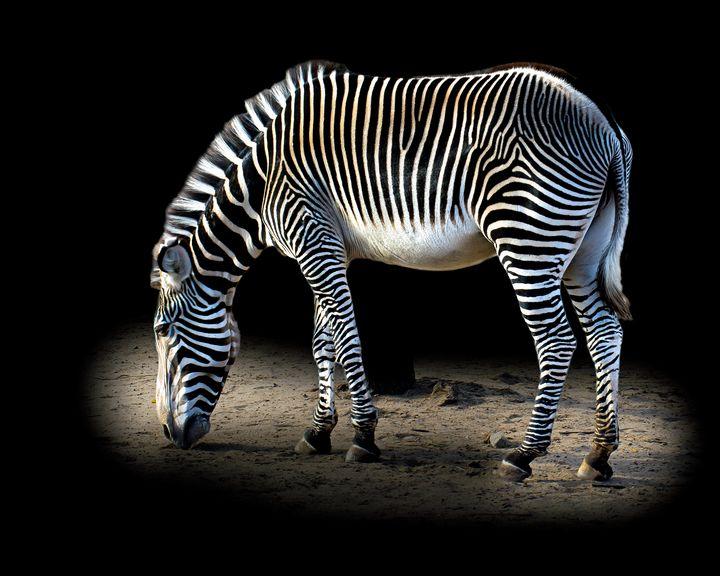 Magical Zebra Stripes - JB's Imaging Studio