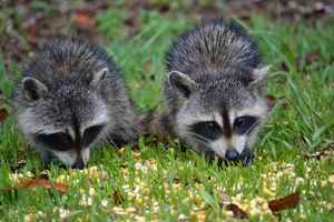 Baby Racoons Dinner Time