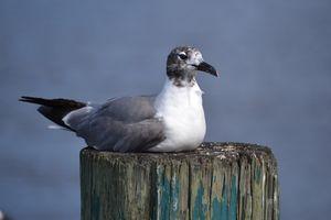 Glorious Gull