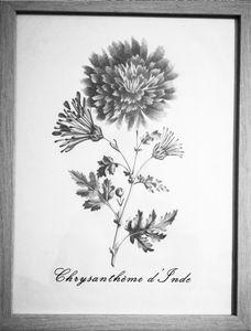 Chrysanthème d'Inde
