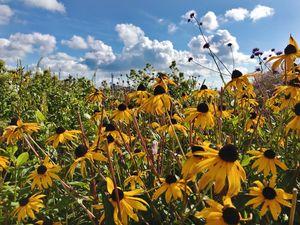 Her Sunflower