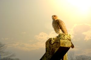 Cooper's Hawk and Old Post - Photography Prints