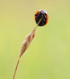 Ladybeetle - Macro-Photography