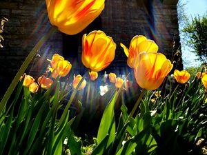 Aura Tulips