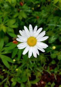 Wild Daisy Little Marais Minnesota