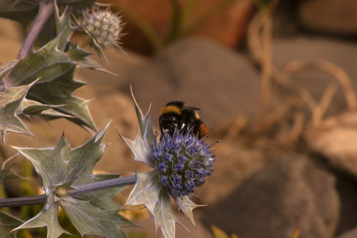 Bee on thistle - Photowitch