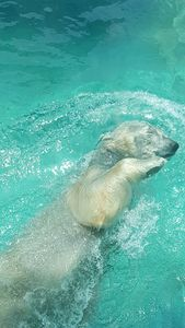 Polar Bear Water Ballet
