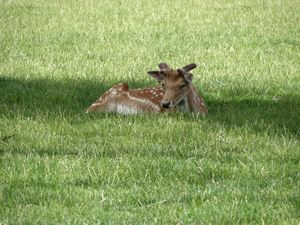 Small fawn in the grass