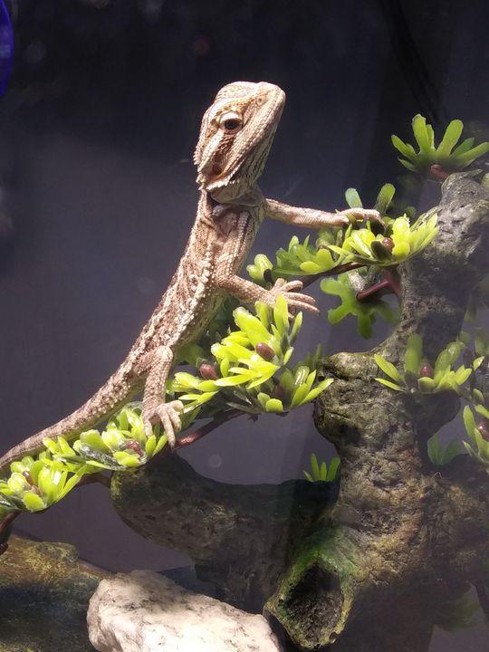 Curious Bearded Dragon - DarkDemiseArt