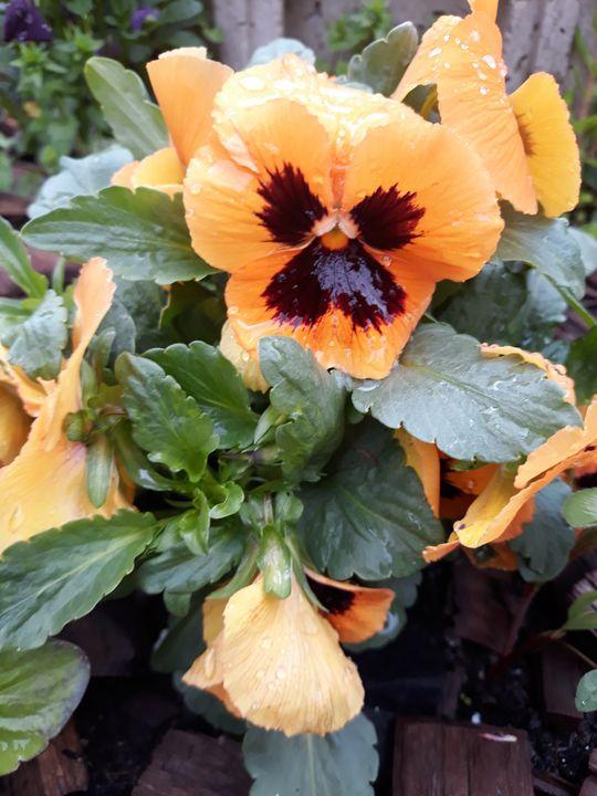 Orange pansy - Edy Art Gallery