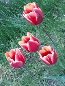 Fout tulips