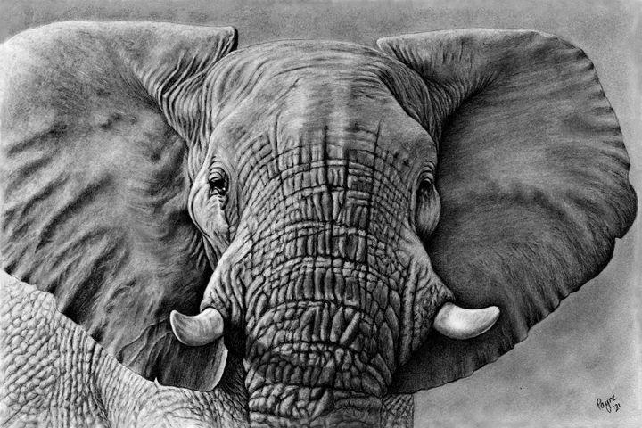 Elephant charcoal drawing - Teresa Payne Art