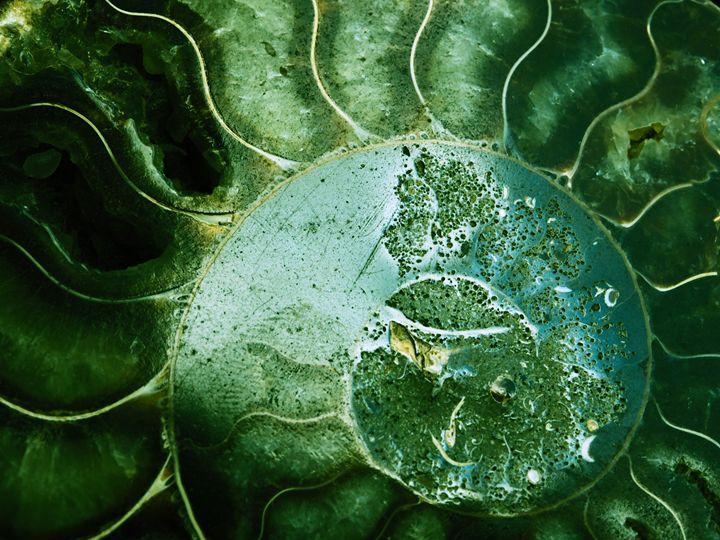 Ammonite 1 - Treehead Collective