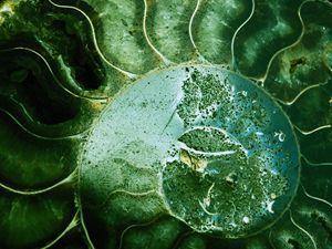 Ammonite 1