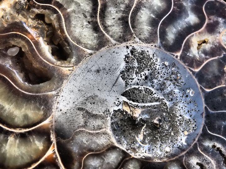 Ammonite 2 - Treehead Collective