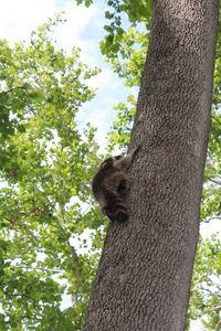 Baby Raccoon - Angelandspot