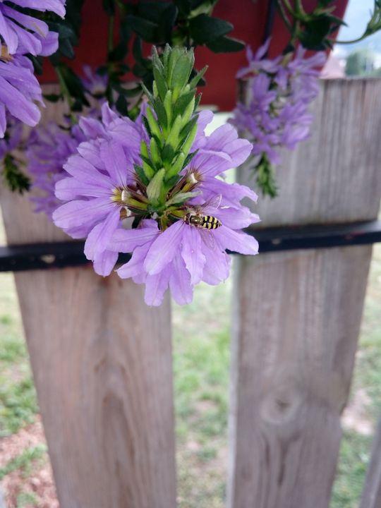 Eupeodes corollae on a flower - Animalia