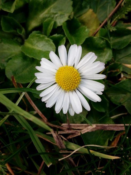 Daisy - Animalia