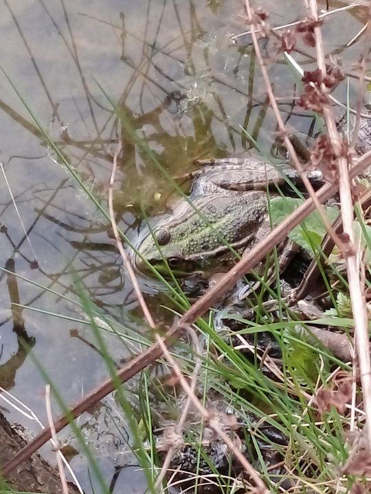 Edible Frog - Animalia