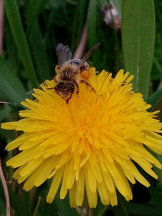 Bee on a dandelion - Animalia