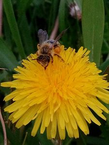 Bee on a dandelion