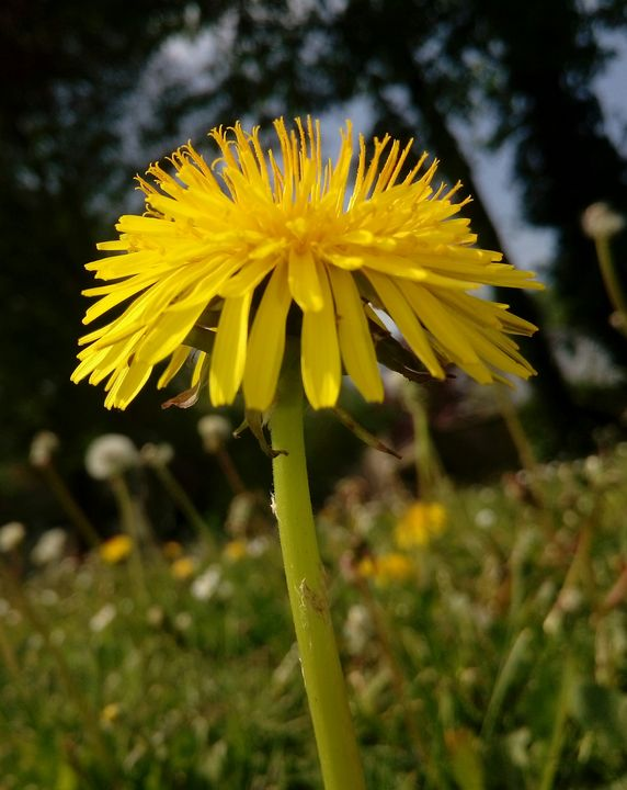 Dandelion - Animalia