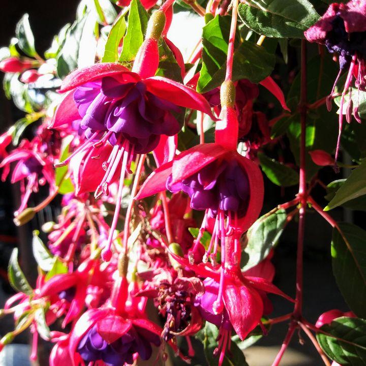 Purple Flower - Meagen