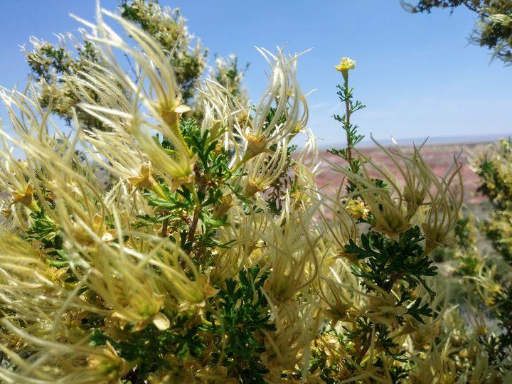 Yellow Desert Plant - Meagen