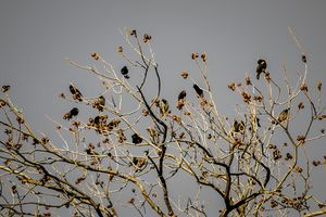 Starlings in the Midst of Winter